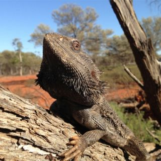 Fabian, the central bearded dragon photographed on a tree limb in his natural habitat