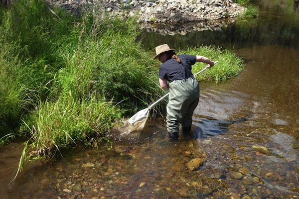 Dr Sue Nicholls wearing waders dips a very-fine net into a stream to sample its aquatic life