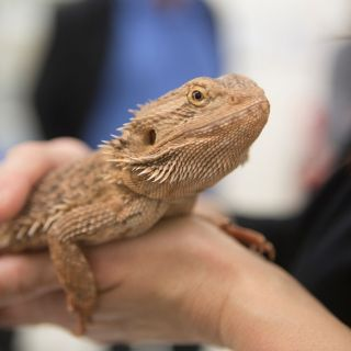 A bearded dragon at the University of Canberra