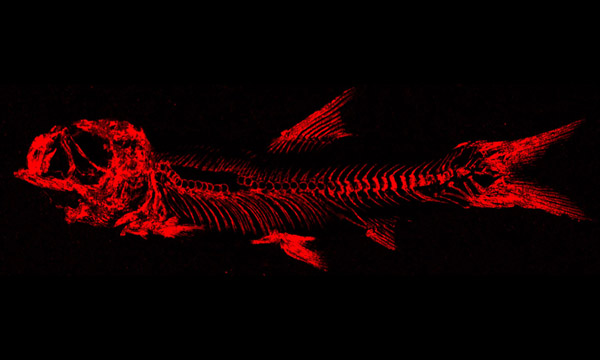 The fossilised fish appears as a high-contrast image (red on a black background)