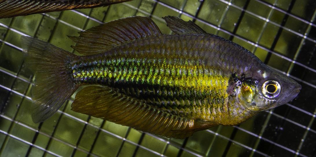 Running River Rainbowfish.