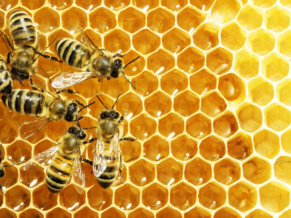 feeding bees probiotics to strengthen them against chalkbrood fungus.