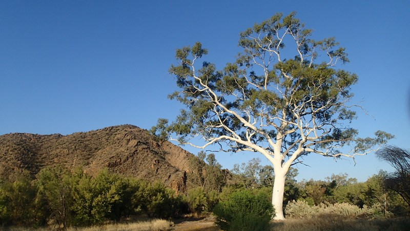 A bush landscape with a large gum tree in the foreground and a rocky hill behind