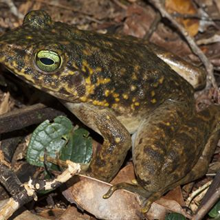 Amphibians in New Guinea need to be protected from the onslaught of the chytrid fungus. Photo: Supplied
