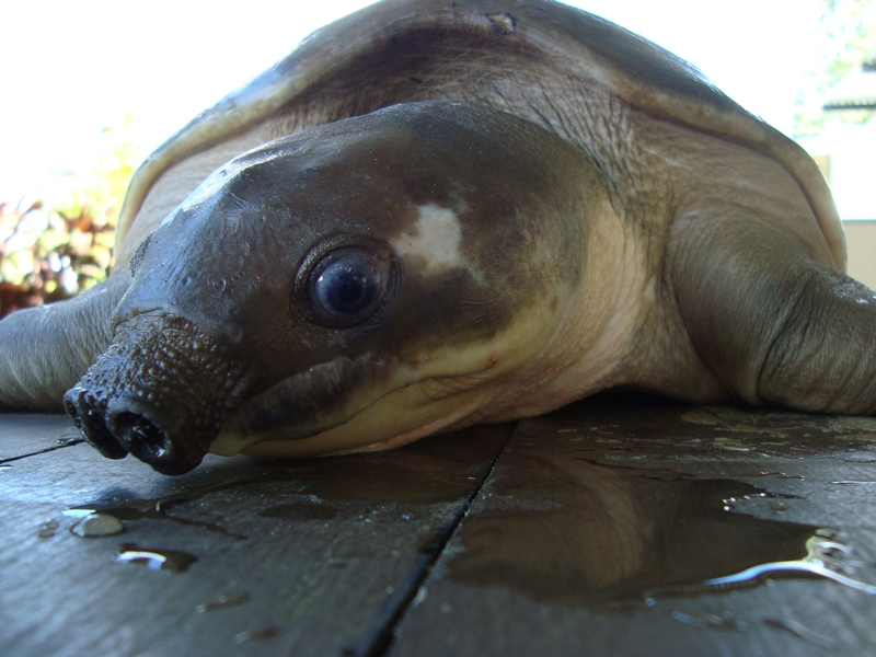 A Pig-Nosed Turtle or Piku