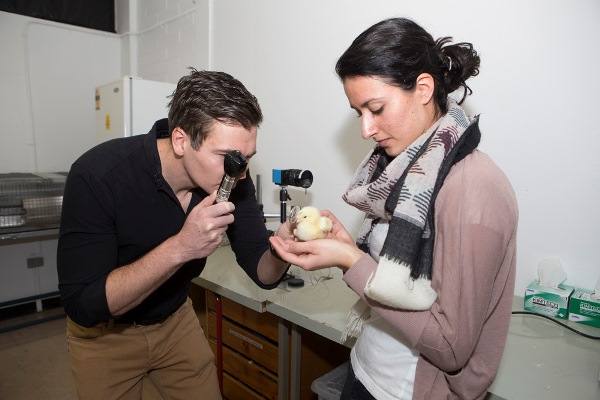 Dr Ashby and Miss Karouta hold a chick in the lab while examining it with an ophthalmoscope