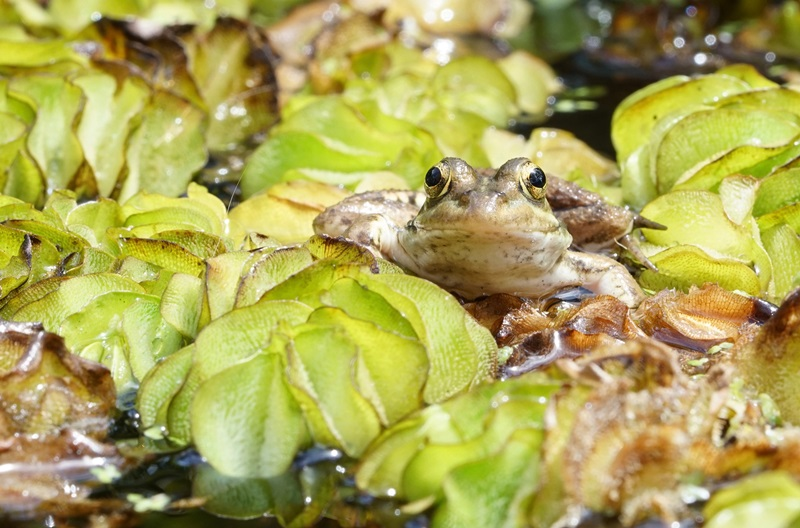 A frog sits on a lillypad in a pond