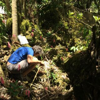 A researcher counts forest seedlings marked with pink ribbons on Guam