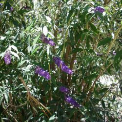 Purple flowers blooming on a bush