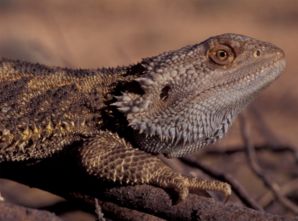 Funding Boost For Reptile Research And Spatial Study University Of Canberra