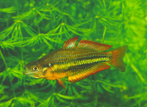 UC researchers? Rainbowfish quest to save a species - University of ...