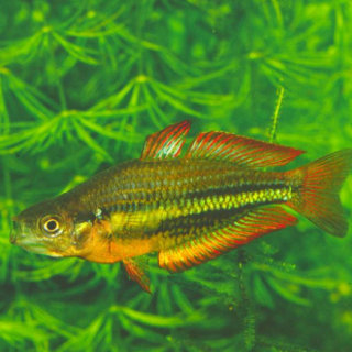 A Running River Rainbowfish swims infront of a backdrop of aquatic plants, its scales shimmer silver, yellow, orange and red