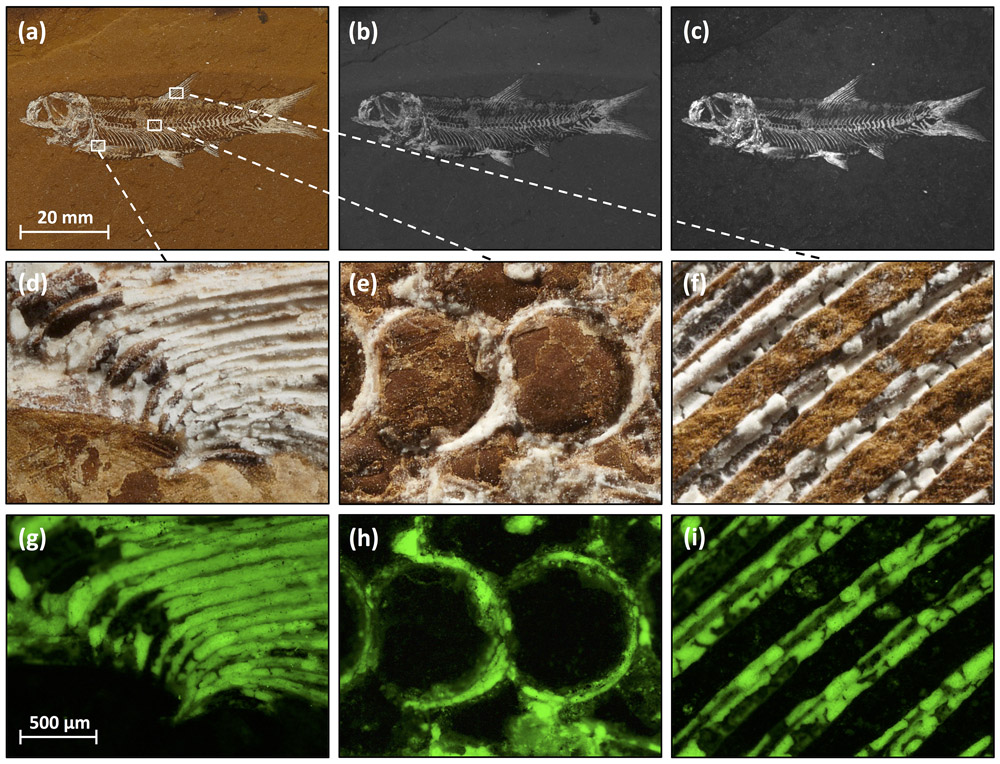 A series of images of a fish fossil under various magnifications and light conditions