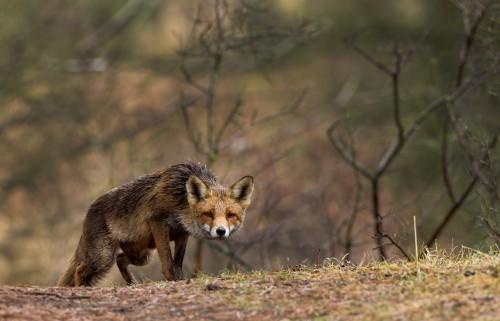 GENETICS On a fox hunt