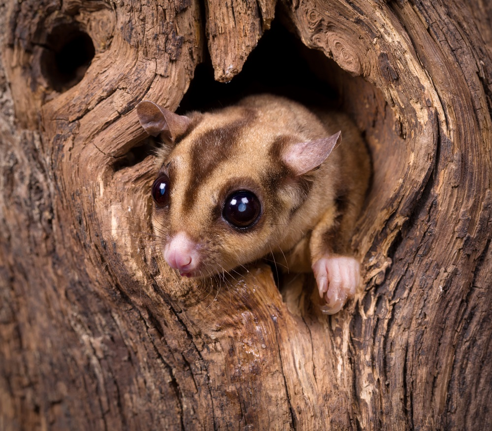 A sugar glider emerges from a hollow in a tree