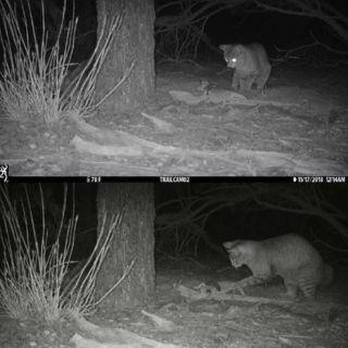 Cat eating pogona