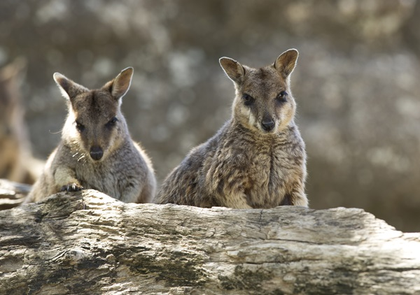 Two rock wallabies in their natural habitat in Northern Queensland