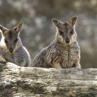 Two rock wallabies in their natural habitat in Northern Queensland